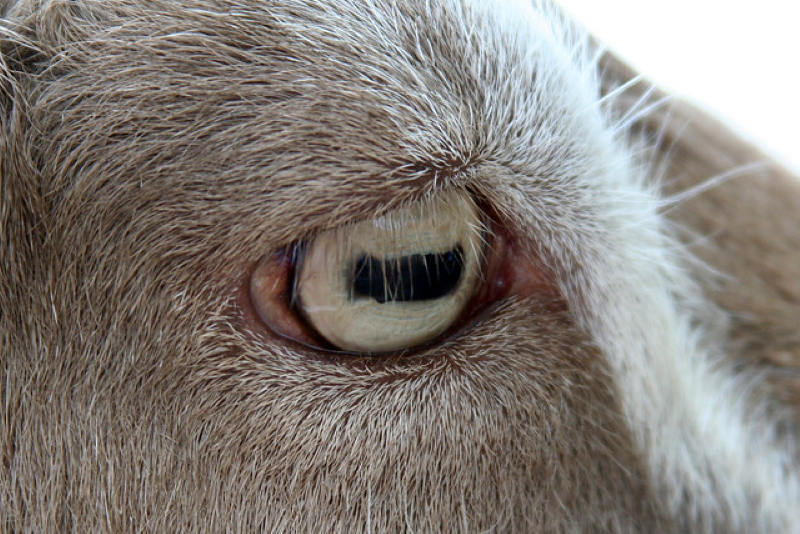 eye of goat pictures of animals
